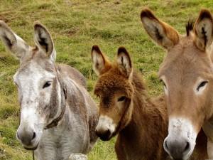 Paseos con burros Madrid