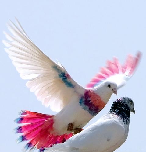 palomas colores